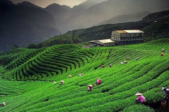 hình trà alishan