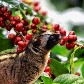 Cà phê chồn là gì? Cà Phê Chồn Đắt Nhất Thế Giới
