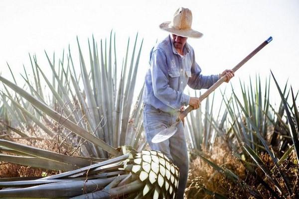 Thu hoạch quả pana để chế tạo rượu tequila